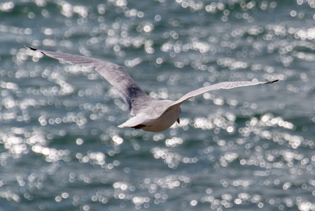 A seagull flying over the waters of Ghost Lake in Alberta, Canada.