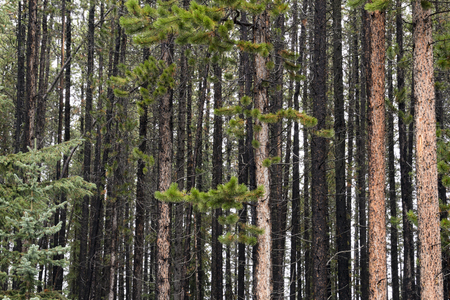 Looking deep into a forest of lodge pole pine trees in Banff National Park, Alberta, Canada.