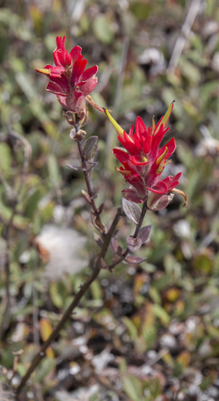 An up close view of pine indian paintbrush in Banff National Park, Alberta, Canada. Stock fotó