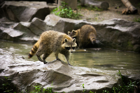 raccoon: raccoon