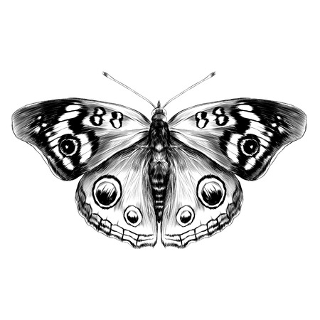 Black and white butterfly with open wings top view of symmetry, sketch graphics vector black and white drawing.