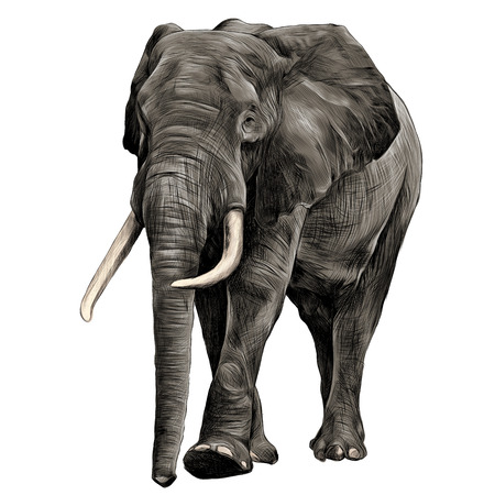 moving in: elephant in full growth, moving forward, sketch graphics vector, color illustration