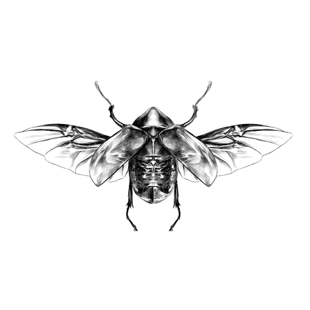 beetle with open wings top view, symmetric, flies, sketch vector graphics Illustration