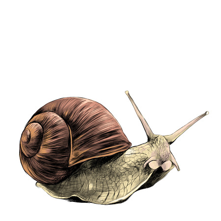 the snail sketch vector graphics, colored drawing