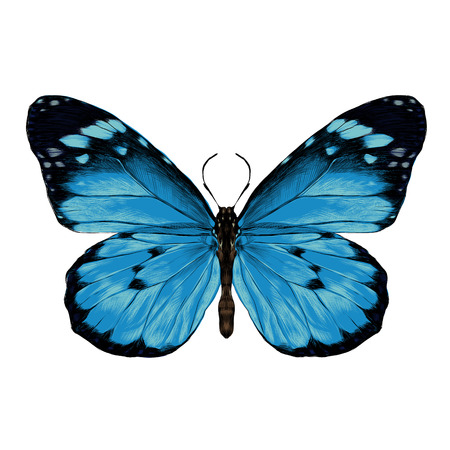 butterfly with open wings top view, the symmetrical drawing, graphics, sketch, vector, color illustration, blue wings with a black pattern on the edges Stock Illustratie