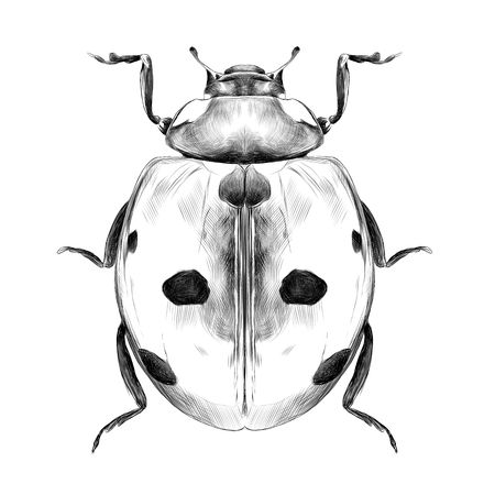 ladybug top view of a symmetric graph sketch vector black and white drawing