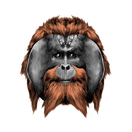head hairy orangutan symmetry, graphics sketch vector, color illustration
