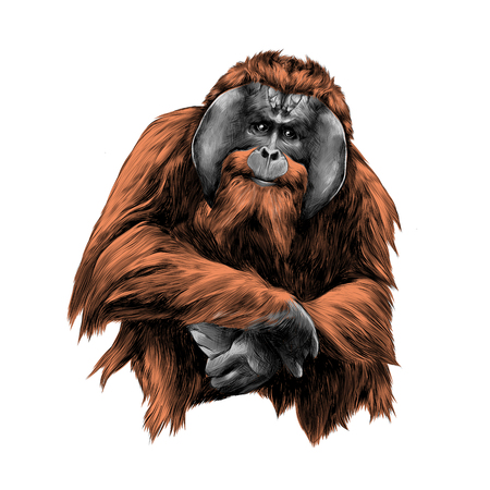 hairy orangutan in full growth sits on his haunches, graphics sketch vector, color illustration Çizim