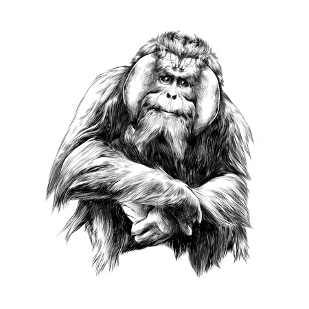 hairy orangutan in full growth sits on his haunches, graphics sketch vector black and white drawing Illustration
