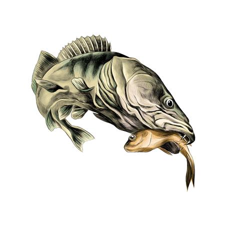 Räuberischer Fisch Hecht gefangen und hält in seinem Mund einen toten kleinen Fisch, Skizze Vektorgrafiken Farbbild Standard-Bild - 74370208