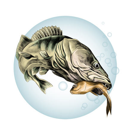 predatory fish pike caught and is holding in its mouth a dead small fish, sketch vector graphics color picture on the background of blue circle with bubbles of air