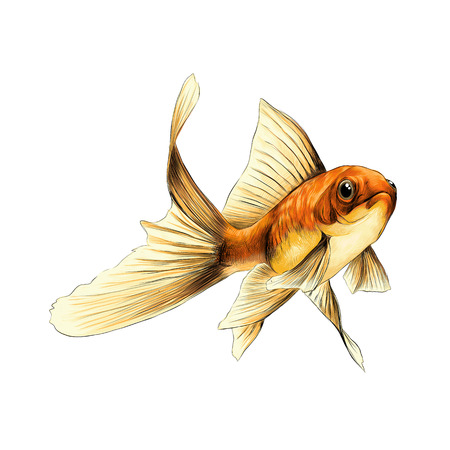 goldfish sketch vector graphics color drawing of a yellow orange color