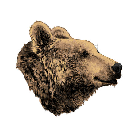 The bears head profile looking into the distance, sketch vector graphics, colored drawing