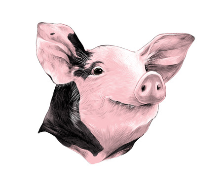 head of spotted pig, sketch vector graphics colored drawing pink Illustration