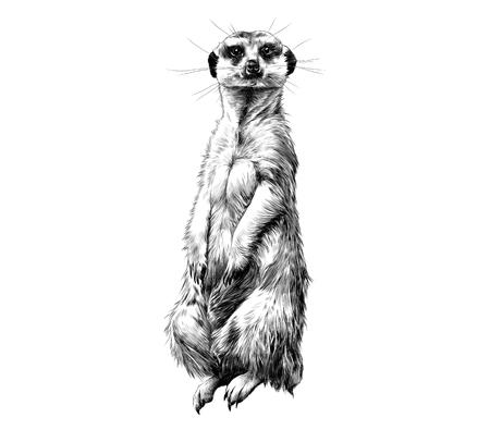 Meerkat de pie sobre sus patas traseras y mirando hacia adelante, de dibujo de gráficos vectoriales dibujo blanco y negro