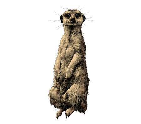 mongoose: Creative design of a colorful tanding on its hind legs and looking forward, sketch vector graphics color picture