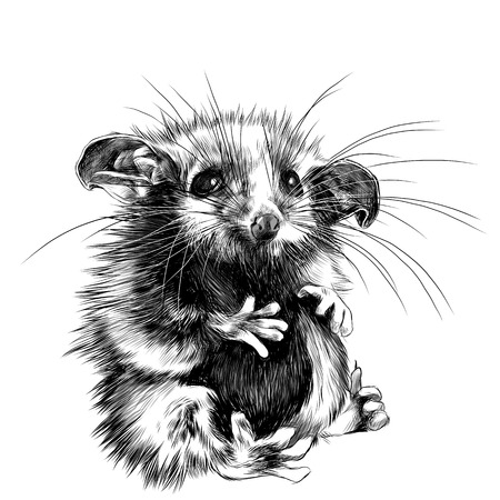 A possum sits a little cute funny, sketch vector graphics black and white drawing