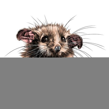 possum: a possum sits a little cute funny, sketch vector graphics color picture Illustration