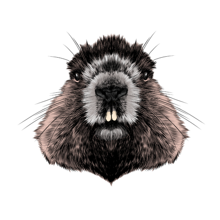 Head Groundhog hairy symmetric, sketch vector graphics color picture. Illustration