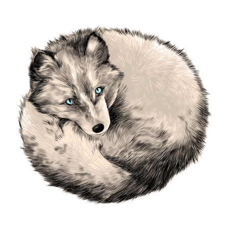 colorized: Arctic Fox lying on snow sketch vector graphics color picture