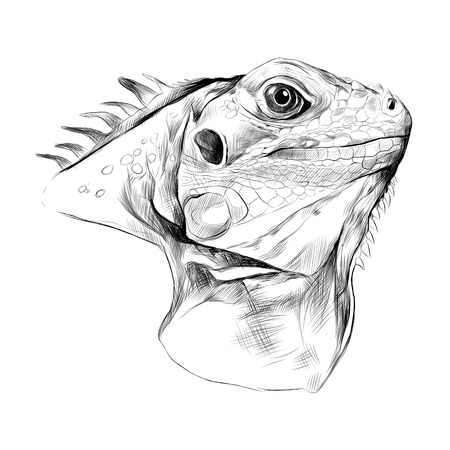 head iguana profile, sketch vector graphics black and white drawing.