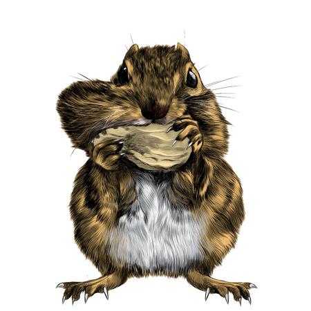 Chipmunk se tient debout et pousse la noix pour la joue, une grosse joue gonflée, une image en couleurs graphiques croquis.