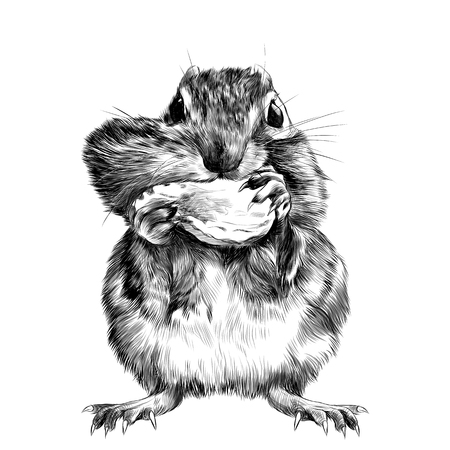 Chipmunk stands and shoves the nut for the cheek, a big swollen cheek, sketch vector graphics black and white drawing Illustration