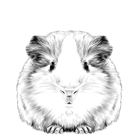 plump cute Guinea pig, black and white drawing.
