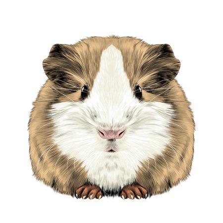 통통한 귀여운 기니 돼지, 스케치 그래픽 컬러