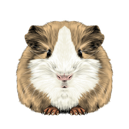 plump cute Guinea pig, sketch graphics colored