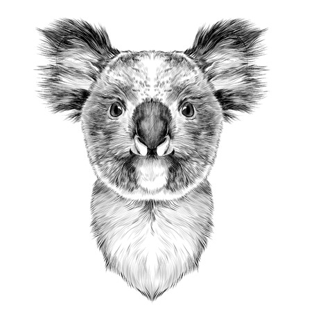 the head is symmetrical Koala looking right, sketch vector graphics black and white drawing Illustration