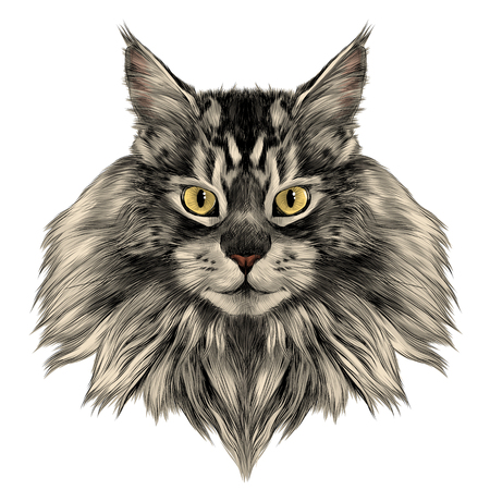 cat Breed Maine Coon face sketch vector color drawing
