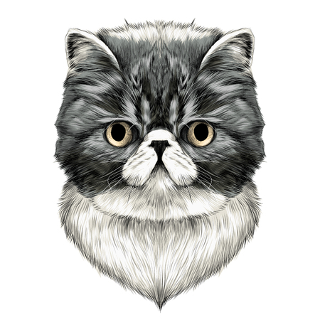 cat Breed Exotic Shorthair face sketch vector color drawing