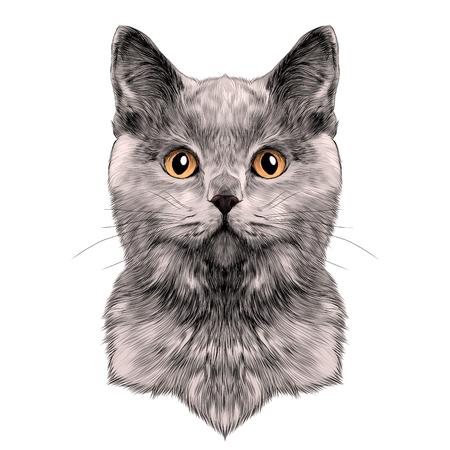 고양이 브리드 영국 쇼트 헤어 얼굴 스케치 벡터 색 그리기 일러스트