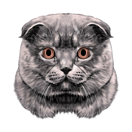 Cat breed British lop-eared head thick symmetrical sketch vector graphics color picture