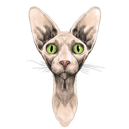 スフィンクスの頭の品種の猫は対称的なスケッチ ベクトル グラフィック カラー写真です。