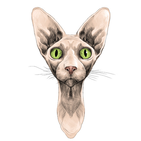 Cat of breed the Sphinx head is symmetrical sketch vector graphics color picture Illusztráció