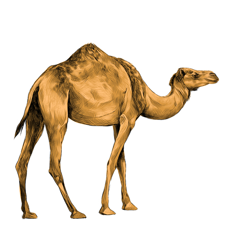 camel in full growth goes, sketch vector graphics color picture