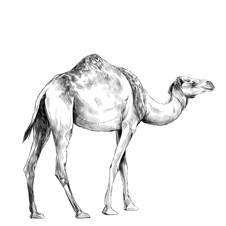 camel in full growth goes, sketch vector graphics black and white drawing Иллюстрация