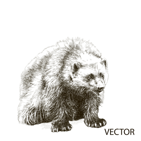 wolverine: Wolverine sitting sketch vector graphics black and white drawing Illustration