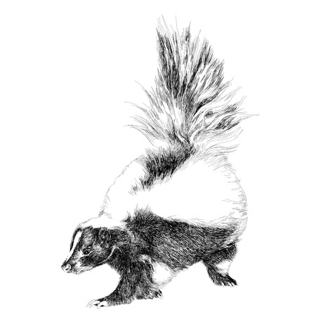 skunk full figure sketch vector graphics black and white drawing Illustration