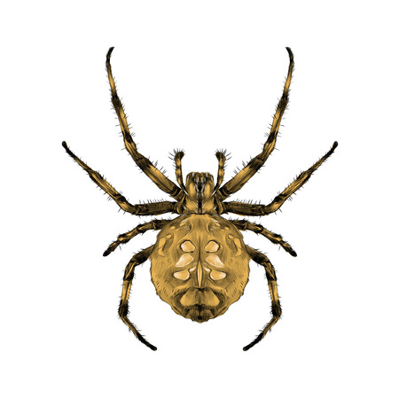 Spider with spots on the back brown symmetrical top view sketch vector graphics color picture Vectores