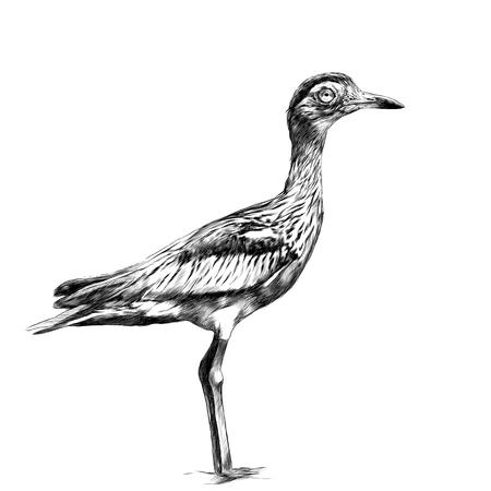 bird avdotka full-length is, sketch vector graphics black and white drawing Illustration