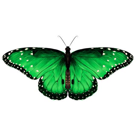 butterfly are symmetrical and the top is green with spots , sketch vector graphics color picture Illustration