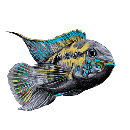 Acara fish with the big forehead grey, yellow and blue colors, swims forward, sketch vector graphics color picture.