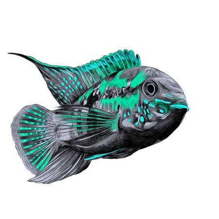 큰 이마 회색, 청록색 및 파랑 색상의 아카라 물고기, 앞으로 수영, 벡터 그래픽 스케치 색상 그림