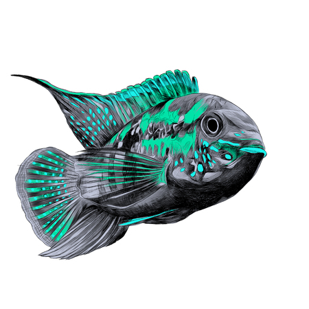 Acara fish with the big forehead grey, turquoise and blue colors, swims forward, sketch vector graphics color picture