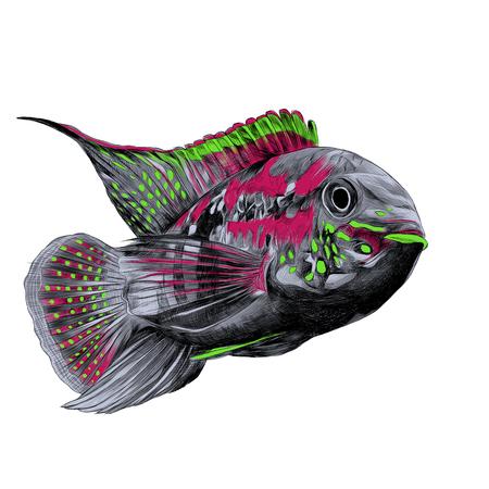 큰 이마 회색, 분홍색 및 녹색 색상, 앞으로 떠있는 아카라 물고기, 스케치 벡터 그래픽 컬러 사진