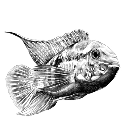 Acara fish with the big forehead, swims forward, sketch vector graphics black and white drawing Иллюстрация