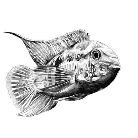 Acara vis met het grote voorhoofd, zwemt naar voren, schets vectorafbeeldingen zwart-wit tekening